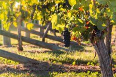Ripe pinot noir grapes in vineyard Stock Photography