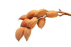 Ripe pistachios Royalty Free Stock Photos