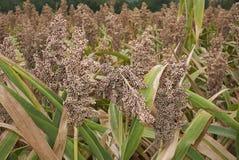 Ripe plants of Sorghum bicolor. Sorghum bicolor crop in summer royalty free stock photography