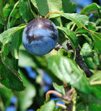 Ripe Plum. Juicy ripe plum on a tree ready for picking Stock Photos