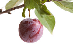 Ripe plum Royalty Free Stock Images