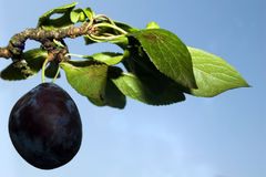 Ripe plum on branch Stock Photography