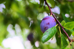 Ripe plum on branch Stock Images