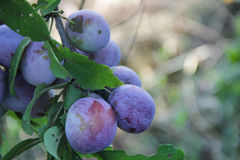 Ripe plum on the branch of a plum tree. In the garden Stock Image