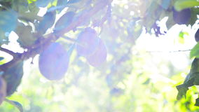 Ripe plum fruit on a branch in orchard on a bright summer day with sun light flare. Stock Image