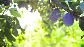 Ripe plum fruit on a branch in orchard on a bright summer day with sun light flare. stock video footage