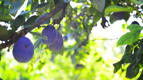 Ripe plum fruit on a branch in orchard on a bright summer day with sun light flare. Royalty Free Stock Photos