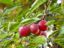 Ripe plum fruit on a branch Stock Photos