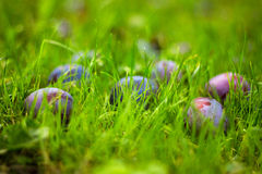 Ripe plum. On the green grass Royalty Free Stock Images