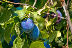 Ripe plum on green tree Stock Photography