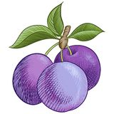 Ripe plum Royalty Free Stock Image