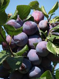 Ripe plums. Ripe prunes at a branch before harvest Royalty Free Stock Photo