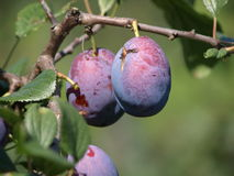 Ripe plums. Ripe prunes at a branch before harvest Stock Images