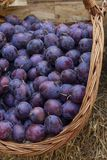 Ripe plums in the basket stock photo