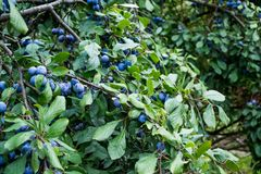 Ripe plums on a branch.  stock images