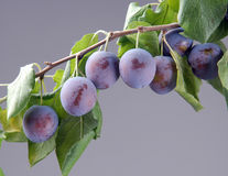 Ripe plums on a branch Stock Photos