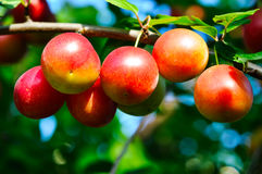 Ripe plums Royalty Free Stock Photography