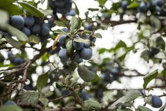 Ripe plums on a branch. Bacground horizontal image Royalty Free Stock Photography