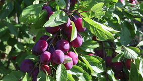 Ripe plums on a branch in a garden stock video footage
