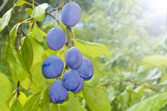 Ripe plums on the branch in the garden. The harvest season is coming. stock photography
