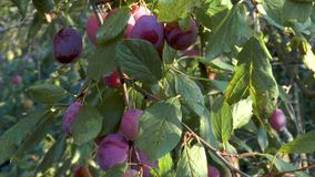 Ripe plums on branch. Growing plum in orchard stock footage