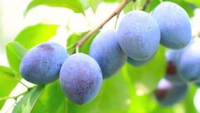 Ripe plums. stock video