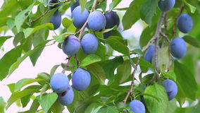 Ripe plums on the branch shake on the wind. stock video footage