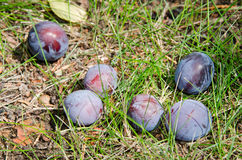 Ripe plums fallen from the tree Stock Photography