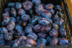 Ripe of Plums Royalty Free Stock Photo