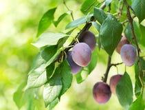 Ripe plums in a garden Royalty Free Stock Photos