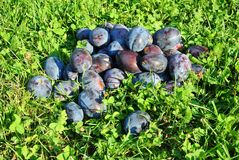Ripe plums on the grass Stock Images