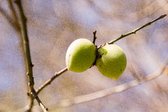 Ripe plums hanging from a tree in an orchard. Royalty Free Stock Image