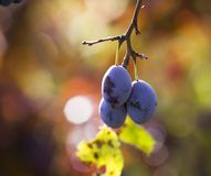 Ripe plums hanging from a tree Royalty Free Stock Photo