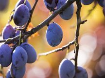 Ripe plums hanging from a tree Stock Photos