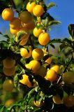 Ripe plums. Numerous ripe plums hanging from the tree Royalty Free Stock Images