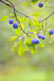 Ripe plums on the tree Royalty Free Stock Photography