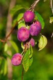 Ripe plums on the tree Stock Images