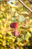 Ripe plums on the tree Stock Image