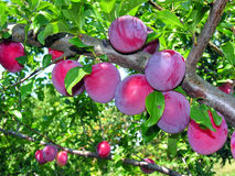 Ripe plums on a tree branch Stock Photography