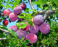 Ripe plums on a tree branch Royalty Free Stock Photo