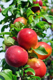 Ripe plums on a tree branch Stock Image