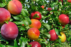 Ripe plums on a tree branch Royalty Free Stock Photography