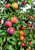 Ripe plums on a tree branch. In the orchard Stock Photo