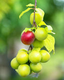 Ripe plums on a tree branch in the orchard in summer Stock Photo