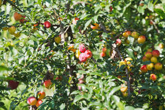 Ripe plums on tree branches Stock Image