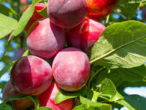 Ripe plums on tree Royalty Free Stock Images