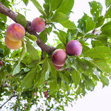 Ripe plums on tree in garden in Sicily Stock Photo