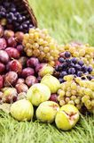 Ripe plums in wicker basket shortly after rain in bright sunlight. Close up to albanian harvest on traditional table cloth stock photos