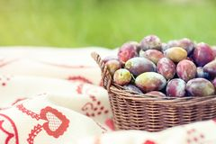 Ripe plums in wicker basket shortly after rain in bright sunlight. With green grass background. Albania harvest on traditional cloth stock images