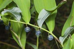 Almost ripe poison berries of polygonatum odoratum, angular Solomon`s seal, macro, selective focus Royalty Free Stock Photography